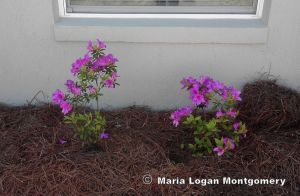 Dad's Azaleas Newly Installed - mlm