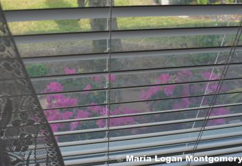 Dad's Azaleas Out Window - mlm