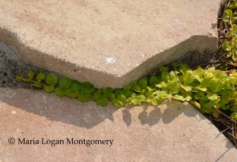 Creeping Jenny on Steps - mlm