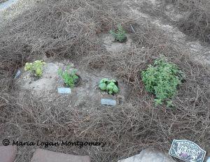 Herb Garden Then - mlm